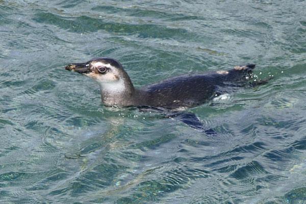 Jonge Magelhaen pinguïn