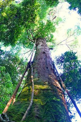 Reusachtige boom in de jungle van Sumatra