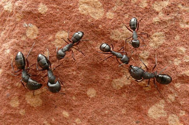 Reuze mieren in Delhi