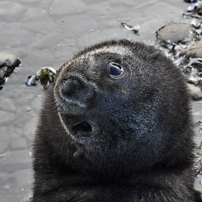 Kerguelenzeebeer-pup