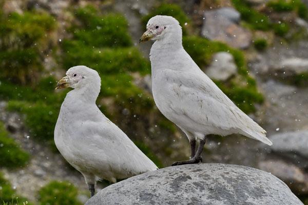 In het Engels: Snowy Sheathbill, in het Nederlands: Zuidpoolkip. Heeft echter niets met een kip te maken.