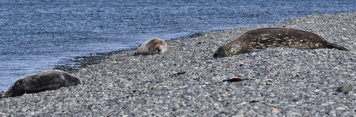 Weddellzeehonden