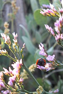 Een lieveheersbeestje begroet me op de landaanwinning achter Noordpolderzijl.