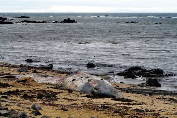 Aangespoelde walvis