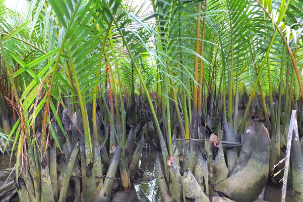 De waterpalm of nipapalm is de enige mangrovepalm en leeft in brak water.