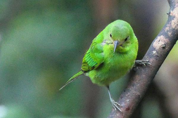Groene suikervogel