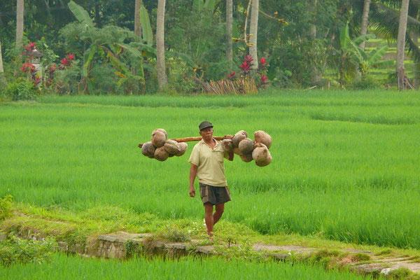 De sawa's op Bali