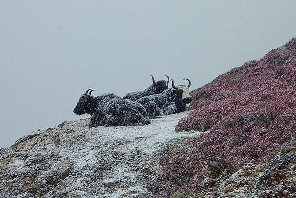 Yaks in de sneeuw