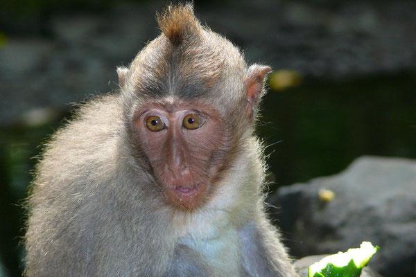Makaak in het monkey forrest bij Ubud