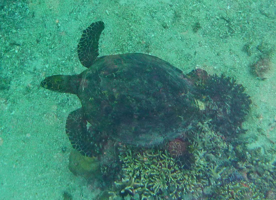 Zeeschildpad