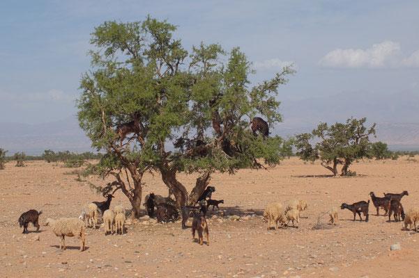 Argan noten etende geiten. Met gemak klimmen ze in de bomen.