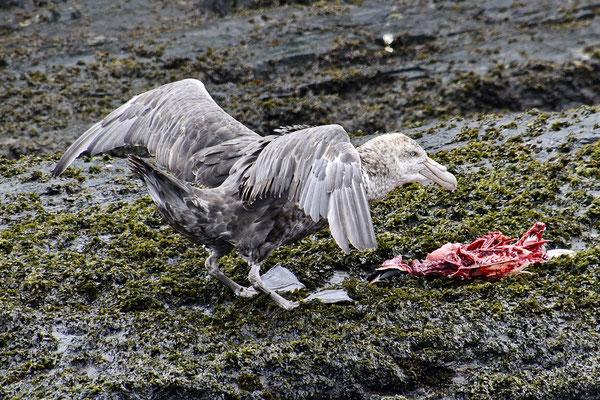 Een stormvogel met de restanten van een pinguïn
