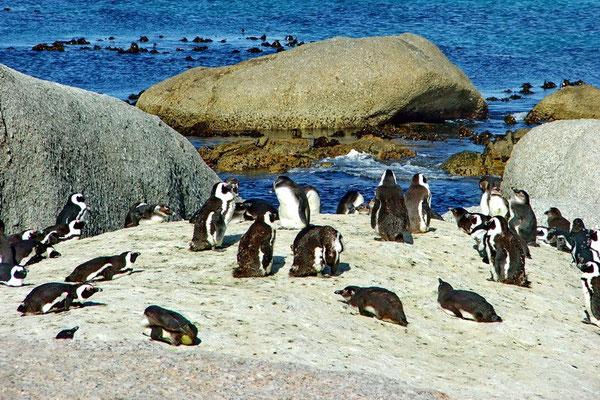 Jackass pinguins op Bouldersbeach bij Simonstown