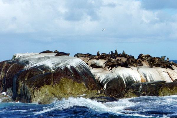 Zeeleeuwen op Duiker eiland bij Houtbaai