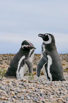 Pinguïns bij Punta Tombo