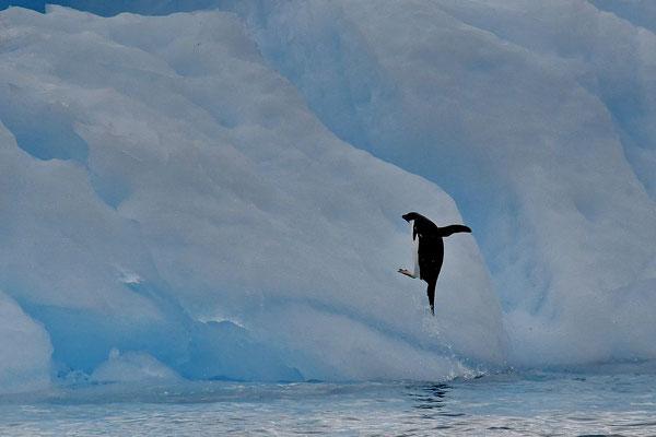 Adélie pinguïn
