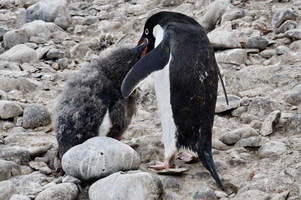 Adélie pinguïn voert jong