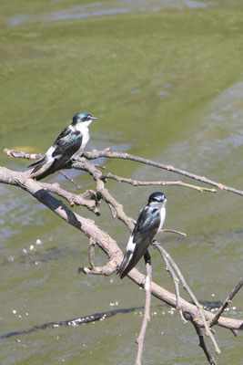 Mangrove zwaluwen
