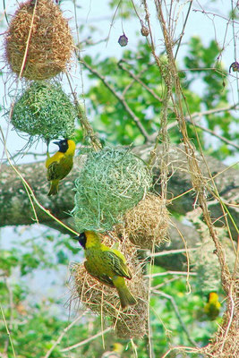 Wevervogels weven hun nest