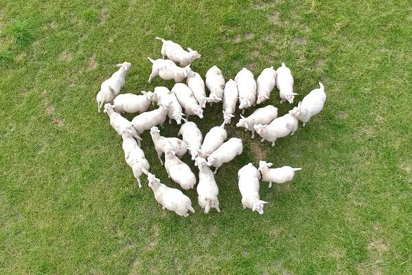 Jonge schapen vanuit de lucht. Ze waren wel een beetje bang voor de drone.