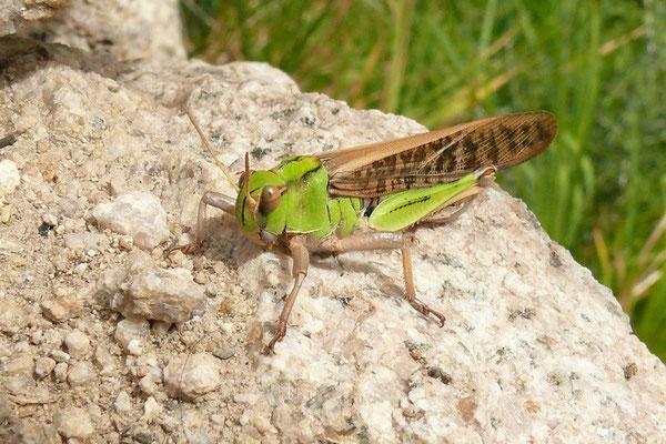Sprinkhaan (8 cm lang)