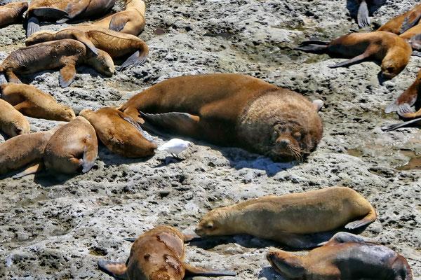 Zeeleeuwen op het schiereiland Valdés