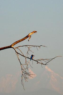 IJsvogel in Chitwan met de Himalaya op de achtergrong (100 kilometer verderop!)