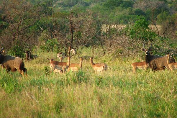 Zebra, impala's nyala's en een gnoe