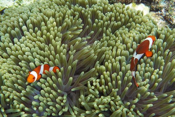 Nemo (clownsvis)