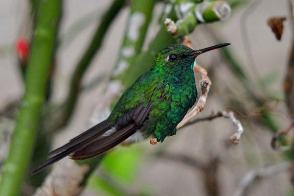 Volwassen kolibri