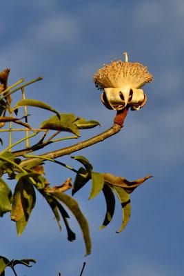 De bloem van een baobab.