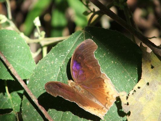 Khao Yai National park, vlinder van 15 cm. breed