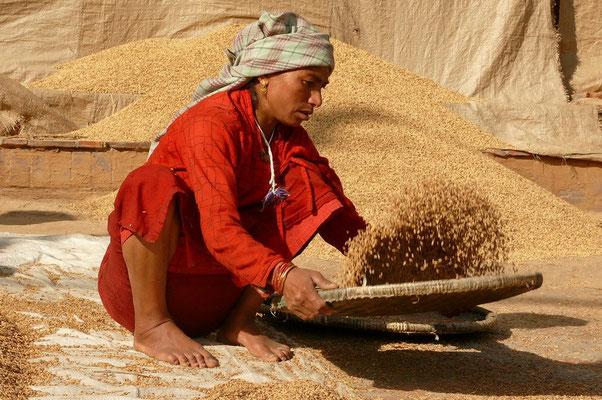 Het kaf van de rijst scheiden