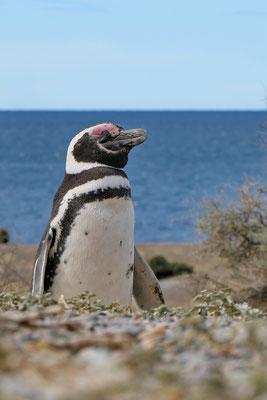 Pinguïn bij Punta Tombo