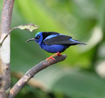 Blauwe suikervogel (of grumpy)