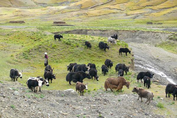 Een nomade met haar yak kudde