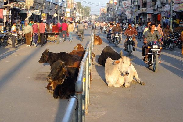 Heilige koeien op straat in Bikaner