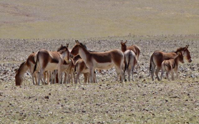 Khyang (wilde ezel)