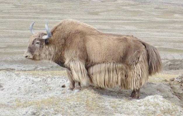 Een grote yak stier