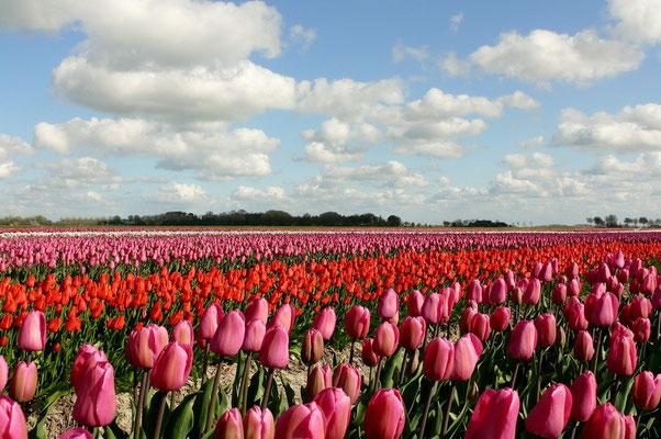 Tulpenveld boven Warffum