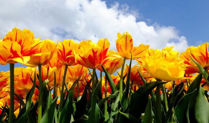 Tulpen bij Kleine Huisjes