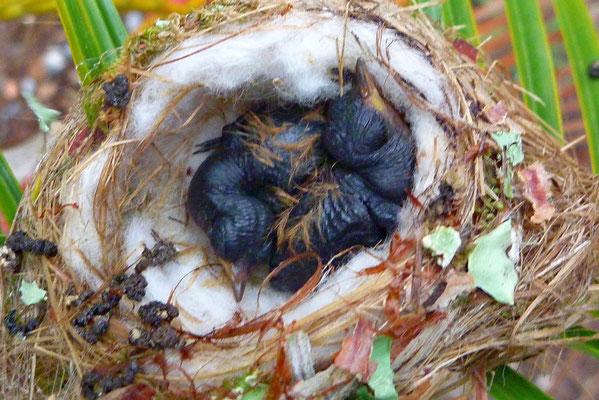 Een nestje kolibri baby's