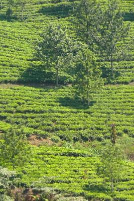 Theeplantage bij Bogor