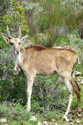 Eland antilope kalf