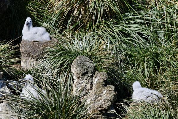 Wenkbrauwalbatros kuikens