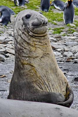 Zeeolifant (houdt z'n lippen stijf op mekaar)