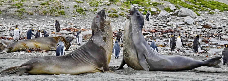 Vechtende jonge zeeolifanten