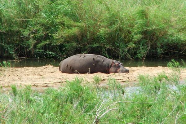 Het nijlpaard krijgt een schoonheidsbehandeling van ossenpikkers