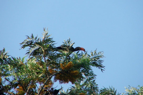 Roodsnavelneushoornvogel