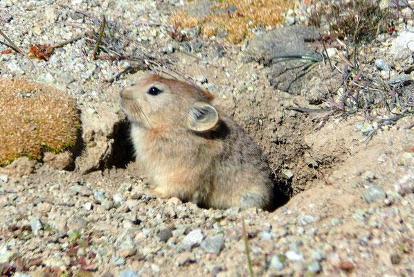 Een fluithaas; een groot soort hamster